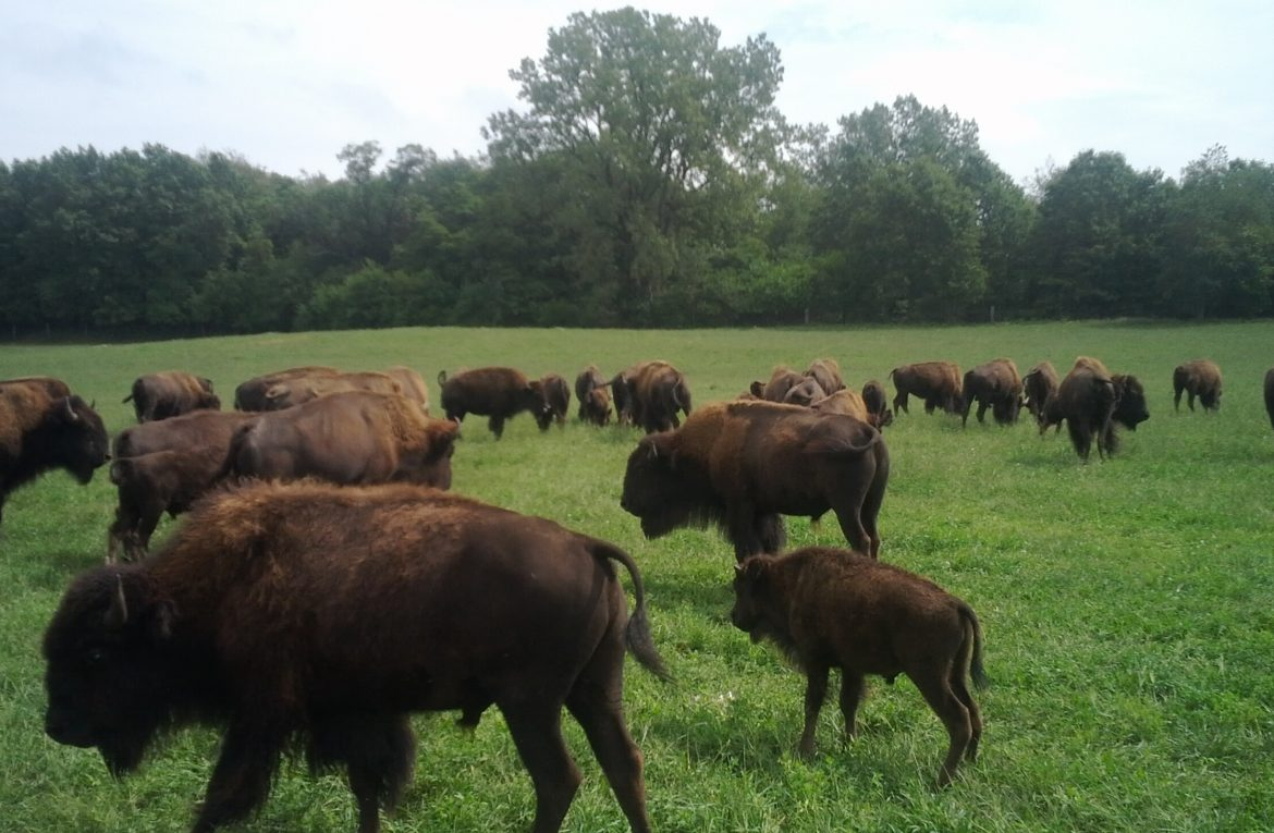 Things to Keep In Mind While Raising Bison - Noble Premium Bison
